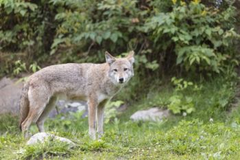 Coyotes inhabit all 100 of North Carolina's counties. Where did they come from?