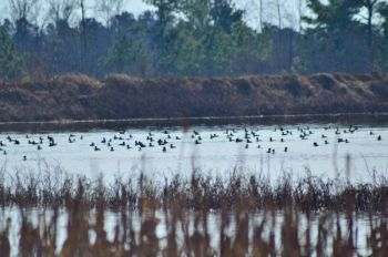 Don't overshoot your best duck-hunting areas; hunting pressure will cause ducks of every species to pick up and move.