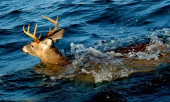 The SCDNR has issued temporary deer hunting closures in portions of the Pee Dee and Waccamaw River drainage systems because of high water due to Hurricane Florence.